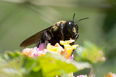 Carpenter Bee looking ominous on the lantana