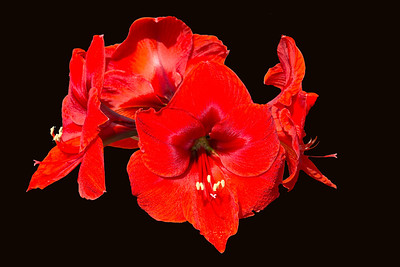 An Amaryllis in full bloom