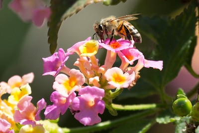 Honey bee with his probiscus deep in a lantana bloom