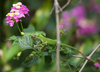 Green Anole Lizard eating a berry.