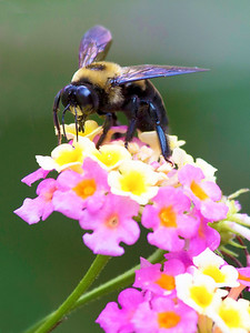 Carpenter bee in the lantana