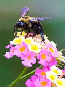 Carpenter bee in the lantana
