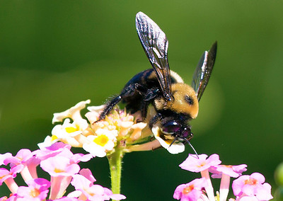 Carpenter Bee deep in a lantana bloom