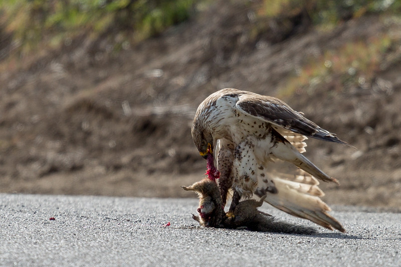 Juvenile Ferruginous Hawk feeding on a ground squirrel