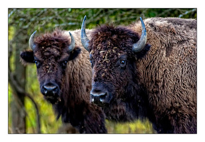 Buffalo Shoot 2009