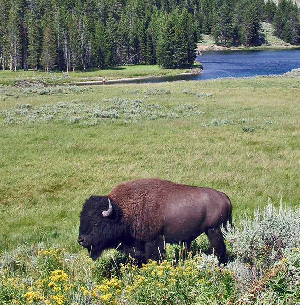 Buff on approach to Yellowstone River in ??NP