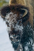 ":Popular ""snow mask"" worn by buffs in YNP."