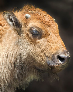 This Bison calf photograph was captured in Yellowstone National Park, Wyoming (6/12).  This photograph is protected by the U.S. Copyright Laws and shall not to be downloaded or reproduced by any means without the formal written permission of Ken Conger Photography.