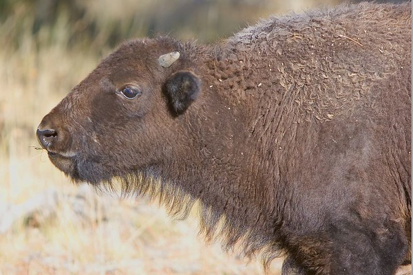 This photograph of an immature Bison or Buffalo was captured in Yellowstone National Park (10/05).