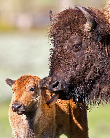 This photograph of a Bison cow licking her calf was captured in Yellowstone National Park, Wyoming (6/11).   This photograph is protected by the U.S. Copyright Laws and shall not to be downloaded or reproduced by any means without the formal written permission of Ken Conger Photography.
