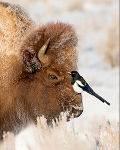 This photograph of a Bison with a magpie on his head was captured in Yellowstone National Park, Wyoming (1/14). This photograph is protected by the U.S. Copyright Laws and shall not to be downloaded or reproduced by any means without the formal written permission of Ken Conger Photography.