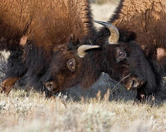 This photograph of two clashing Bison or Buffalo was captured in Yellowstone National Park, Wyoming (4/10).    This photograph is protected by the U.S. Copyright Laws and shall not to be downloaded or reproduced by any means without the formal written permission of Ken Conger Photography.