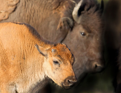 This Bison Cow and calf photograph was captured in Yellowstone National Park, Wyoming (6/12).  This photograph is protected by the U.S. Copyright Laws and shall not to be downloaded or reproduced by any means without the formal written permission of Ken Conger Photography.