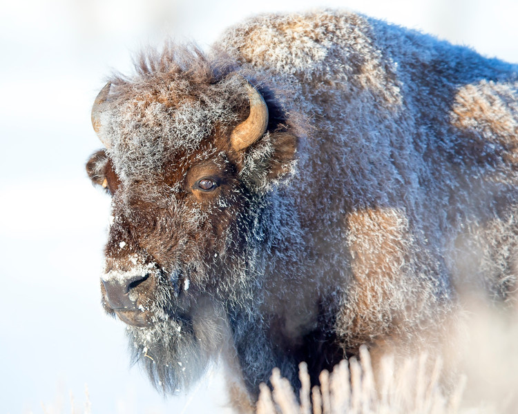 This photograph of a frosty Bison was captured in Yellowstone National Park, Wyoming (1/14). This photograph is protected by the U.S. Copyright Laws and shall not to be downloaded or reproduced by any means without the formal written permission of Ken Conger Photography.