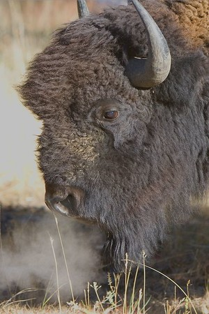 This photograph of a Bison or Buffalo on a early frosty morning was captured in Yellowstone National Park (10/05).