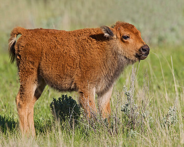 This photograph of a Bison calf was captured in Yellowstone National Park, Wyoming (6/11).   This photograph is protected by the U.S. Copyright Laws and shall not to be downloaded or reproduced by any means without the formal written permission of Ken Conger Photography.
