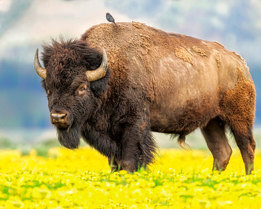This photograph of a Bison standing in dandelions with a Cowbird on his back was captured in Grand Tetons National Park, Wyoming (6/11).   This photograph is protected by the U.S. Copyright Laws and shall not to be downloaded or reproduced by any means without the formal written permission of Ken Conger Photography.