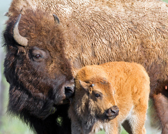 This photograph of a Bison cow and calf was captured in Yellowstone National Park, Wyoming (6/11).   This photograph is protected by the U.S. Copyright Laws and shall not to be downloaded or reproduced by any means without the formal written permission of Ken Conger Photography.