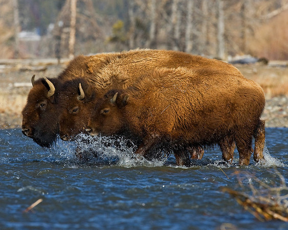 A Bison version of the water portion of the Triathlon, with these three guys competing to see who gets across the creek first.  The photograph of the three Bison or Buffalo crossing the Soda Butte Creek was captured in Yellowstone National Park, Wyoming (4/10).    This photograph is protected by the U.S. Copyright Laws and shall not to be downloaded or reproduced by any means without the formal written permission of Ken Conger Photography.