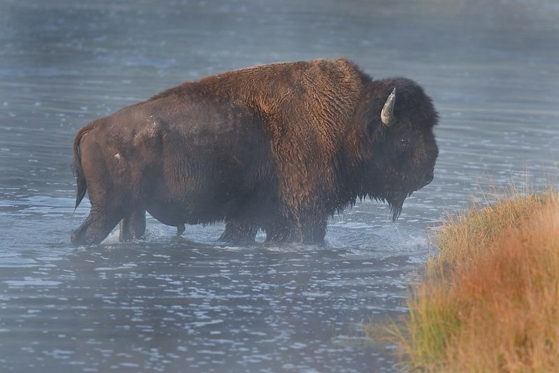 This photograph of a Bison or Buffalo crossing the Madison River was captured in Yellowstone National Park (10/05).
