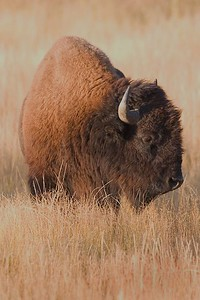 This photograph of a Bison or Buffalo was captured in Yellowstone National Park (10/05).