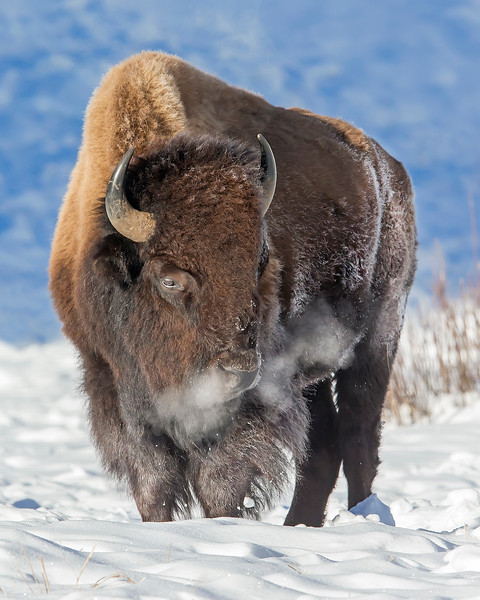 This photograph of a Bison was captured in Yellowstone National Park, Wyoming (1/15). This photograph is protected by the U.S. Copyright Laws and shall not to be downloaded or reproduced by any means without the formal written permission of Ken Conger Photography.