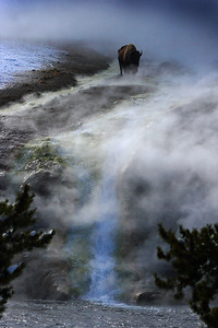 This photograph of a Bison or Buffalo was captured atop a thermal area In Yellowstone National Park (1/06).