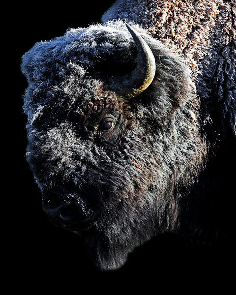 This frosty morning photograph of Buffalo or Bison was captured in Yellowstone National Park (10/09).  This photograph is protected by the U.S. Copyright Laws and shall not to be downloaded or reproduced by any means without the formal written permission of Ken Conger Photography.