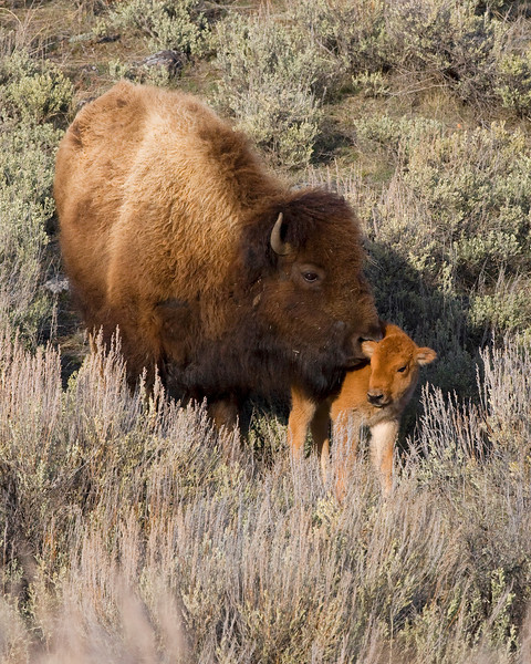 This photograph of female Bison was captured in the Lamar Valley area of Yellowstone National Park (4/09).  This photograph is protected by the U.S. Copyright Laws and shall not to be downloaded or reproduced by any means without the formal written permission of Ken Conger Photography.