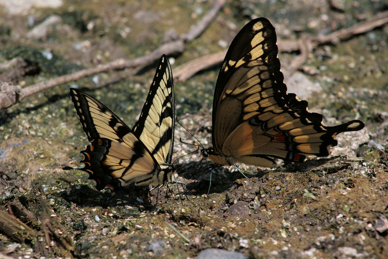 A Pair of tiger Swallowtail Butterflies at Chain O' Lakes State Park.