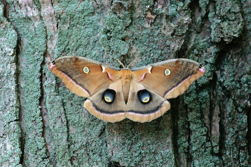 Lucky for this moth, we were at the playground REALLY early.... It thought it would be ok spending the day in the slide! Kiddos found it and we let it go somewhere safe.<br /> Polyphemus Moth