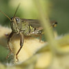 Grasshopper watching me in the garden.