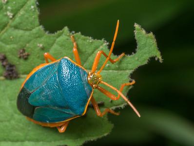 A pentatomid (Stink Bug)