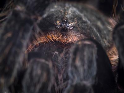 Eye to Eye (or Is That Eye to Eyes?) with a Tarantula