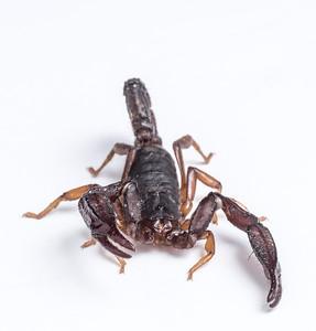 Scorpion in Whitebox