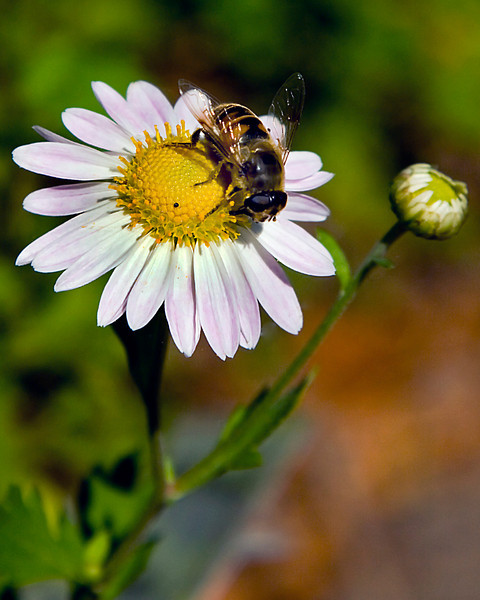 Another Bee on Another Flower