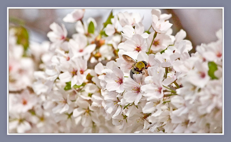 Bumblebee in Cherry Blossoms, Dry Brush Filter