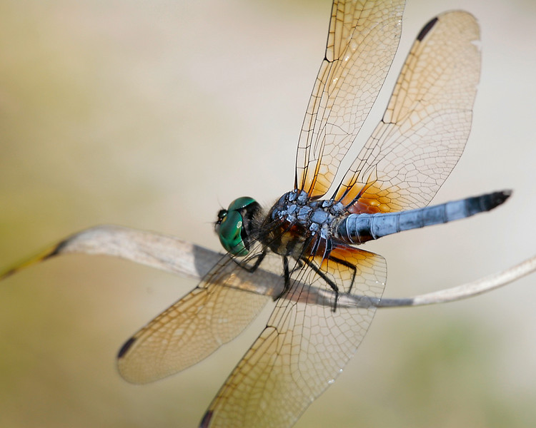 Another Austin dragonfly in the Lady Bird Johnson Wildflower Center
