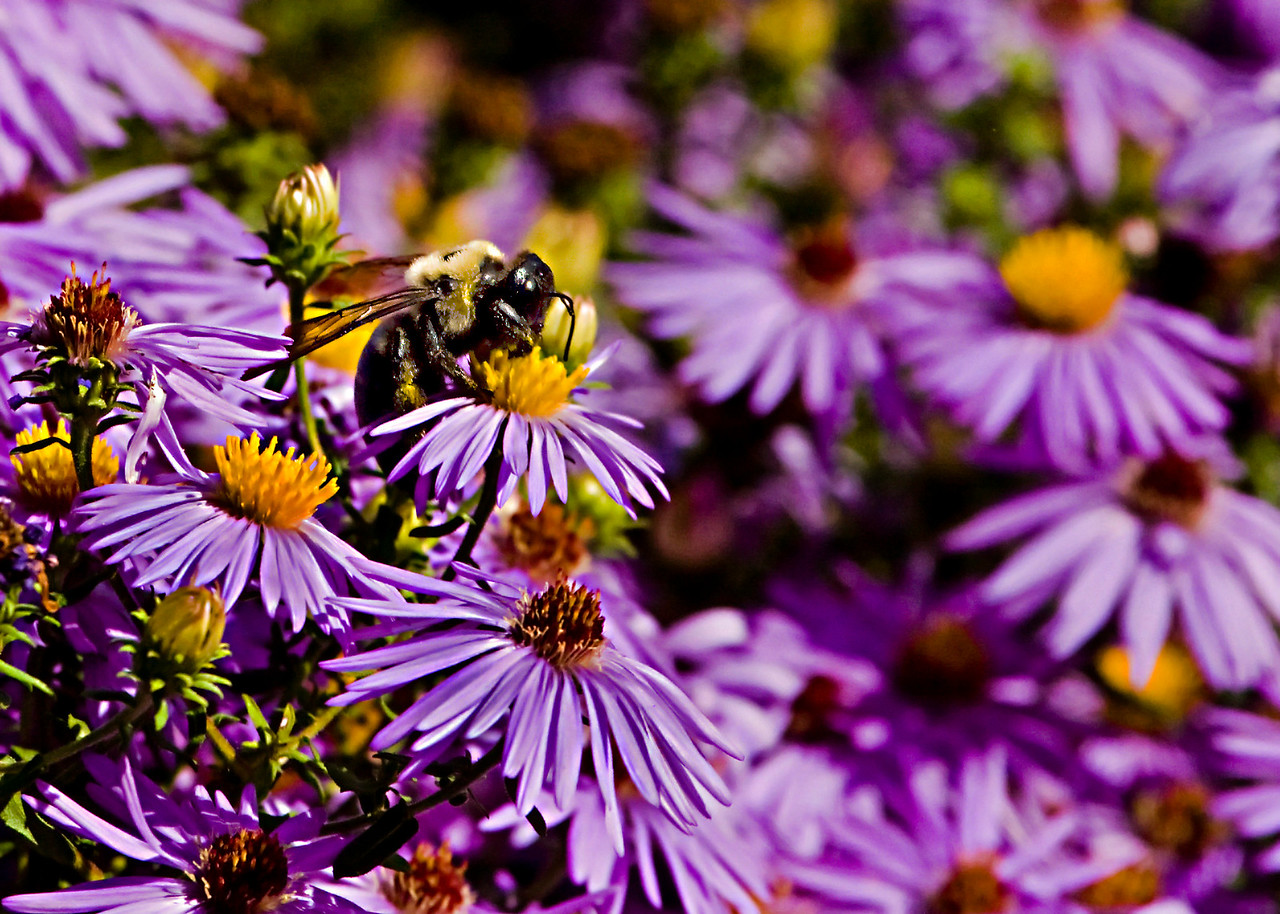 Bee on Purple Asters<br /> <br /> Playing around with differing sharpening strategies to increase edge contrast. Alot of dodging and burning used here to even out the light and try to focus attention on the bee.