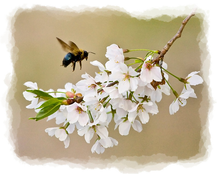 Bumblebee Flying to Cherry Blossoms, Dry Brush Filter