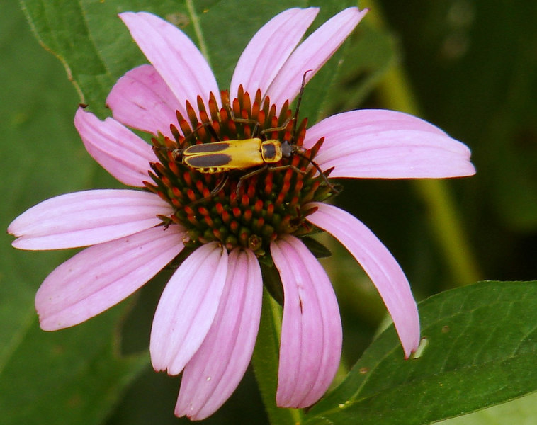 Yellow Bug on a Pink and Red Flower
