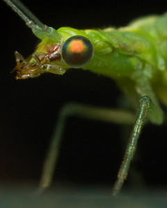 Green Lacewing, close ups with a reversed lens