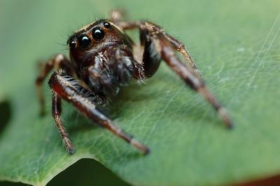 Jumping Spider.