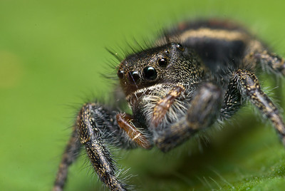 Jumping spiders are common on sides of houses.