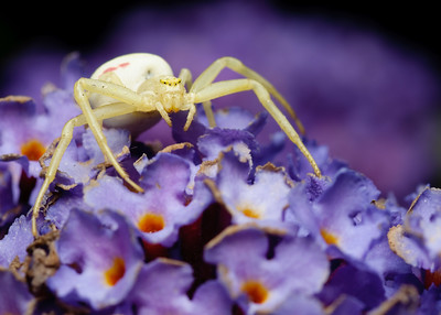 Crab Spider, every year you will see them on the butterfly bushes, they go down inside the blossoms if disturbed.