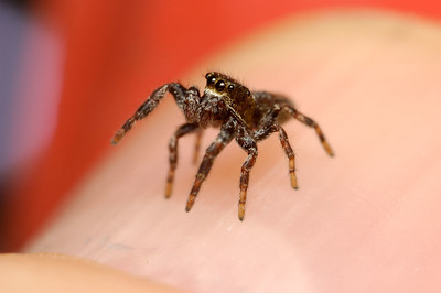 Jumping spiders are sight hunters, they use there large front eye to gauge distant and leap onto there pray, they can leap up to thirty times there body length.