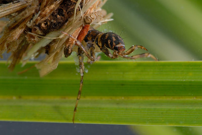 Giant Caddisfly Larva