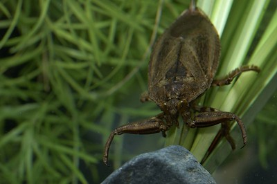 Giant Water Bug, these are big, make a good pet but you have to feed it.