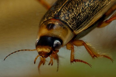 Diving Beetle close up,