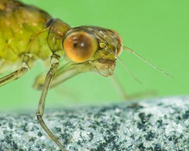 Damselfly larva